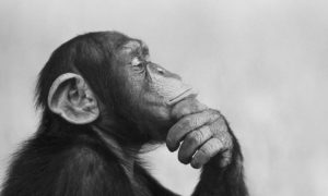 chimp-mental-shift